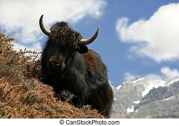 yak grazing on a slope in the himalayas