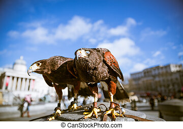 Majestic eagles in London - Majestic Eagles used by pest...