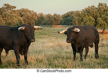 Fighting bulls farming site - Specimen of Spanish free range...