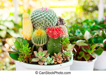Tabletop cactus garden - Various Cactus plants in a pot...