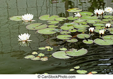 water lily on the pond - water lily on the small Lake