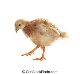 young chicken standing on white background use for livestock...