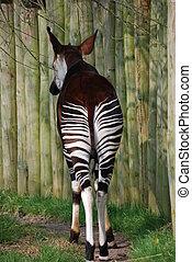 Okapi Bum