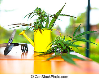 Cannabis plant with garden tools on a background of the...