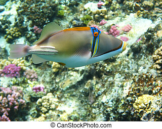 Picasso trigger fish and coral reef in Red sea