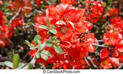 Spring blossoming Japanese quince bush