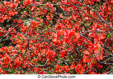 Sunlit spring flowering Japanese quince bush