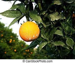 Orchard orange sprayed with insecticede