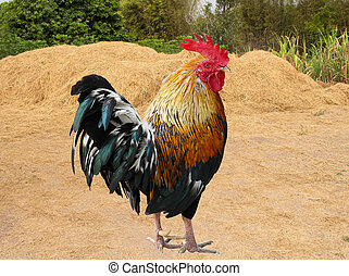 Thailand male chicken rooster isolated on white background,...