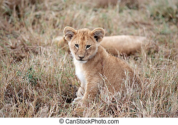 lion cub Masai Mara Kenya Africa - Lion cub playing in the...