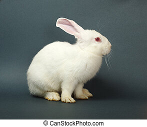 White rabbit on gray background - White rabbit sitting on...