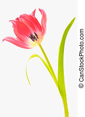 One red tulip  isolated on white background