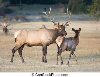 Bull elk and a calf - A calf walks in front of a bull elk in...