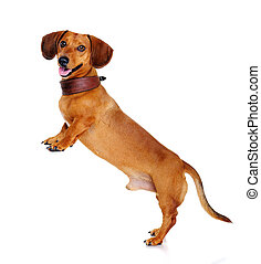 dachshund dog   standing on hind legs