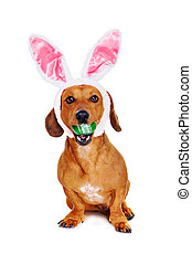 dog dressed as bunny  holding easter egg