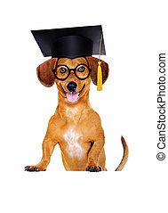 dachshund dog wearing mortar board hat