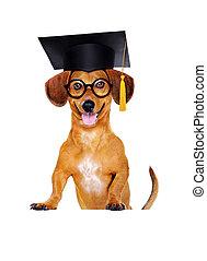 dachshund dog wearing mortar board hat