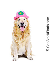 golden retriever wearing funny hat