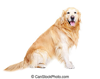 front view full length portrait of golden retriever