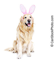 golden retriever dressed up as bunny