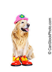 golden retriever in clown outfit