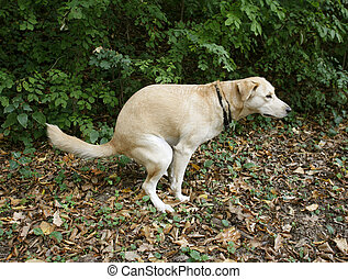 poo - Urban hygiene: Golden labrabor doing her ablutions in...