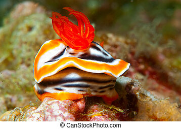 Chromodoris magnifica Nudibranch - A Chromodoris magnifica...