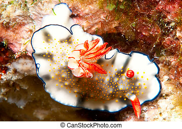 Nudibranch - A colorful Nudibranch from the Philippines