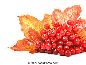 Red viburnum berries and autumn leaves isolated on white