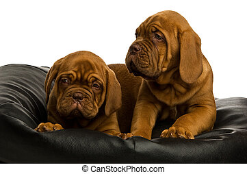 Dogue De Border on bean bag - Two Dogue De Border dogs on...
