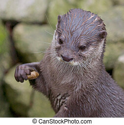 Small-clawed Otter Portrait - Portrait of a small-clawed or...