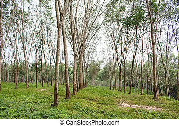 row of para rubber tree in agriculture farm