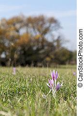 Autumn flower on the meadow - Sunny autumn crocus meadow...