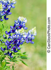 Texas Bluebonnets Lupinus texensis blooming in spring...
