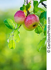 Apples growing on tree branch - Apple fruits growing on an...