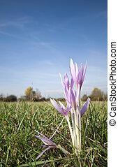 Autumn flower closeup on the meadow - Sunny autumn crocus...