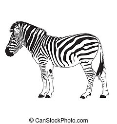 zebra vector - image of zebra vector isolated on background