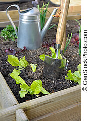 lettuce in vegetable garden - young feet of lettuce planted...