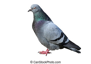 isolated male pigeon - male pigeon columba livia isolated...