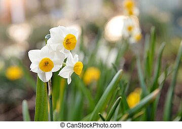 full blown narcissus flowers in a garden