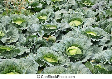 cabbage field ready for harvesting in Jeju Island, Korea