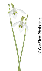 snowdrop - Studio Shot of White Colored Snowdrop Flowers...