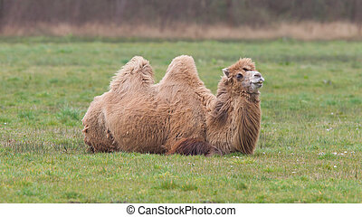 Two-humped camel is resting on the green grass