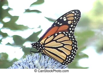monarch butterfly - Monarch Butterfly takes nectar from...