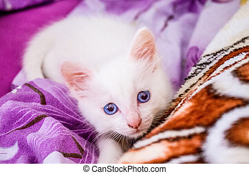 Angora - small Turkish Angora with blue eyes