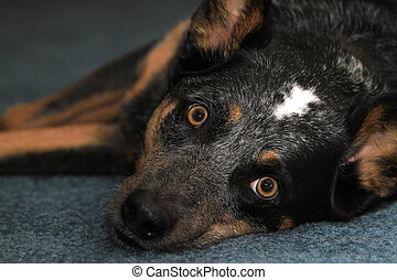 Blue Heeler Dog laying down - Blue heeler dog laying down on...