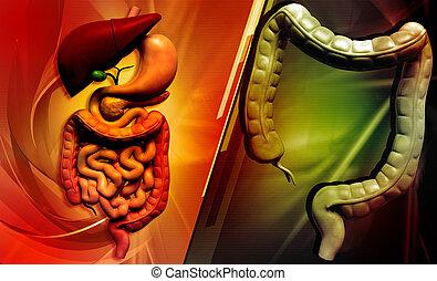 human digestive system - Digital illustration of human...