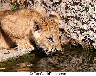 Lion - A water drinking baby lion