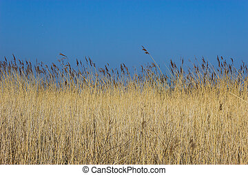 Reedbeds at Carlton Marshes Nature Reserve, Suffolk, UK.