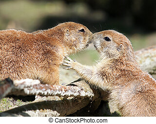 Prairie dogs - A couple Prairie Dogs kissing each other